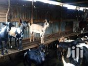 Goats | Livestock & Poultry for sale in Eastern Region, Jinja
